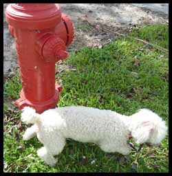 poodle-fire-hydrant-pee
