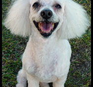 Senior Mini Poodle Looking for Retirement Home