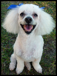 Miniature Poodle Sammie for Adoption