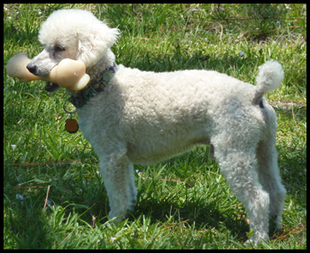poodle needs home - Sammie and big Nylabone