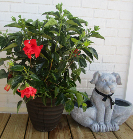 Trade The Poisonous Pointsettia For A Festive Red Hibiscus Plant